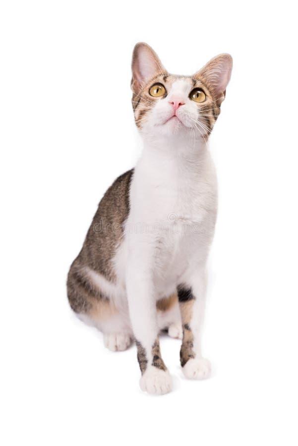Милый кот сидит на белой предпосылке и смотрит вверх стоковые изображения