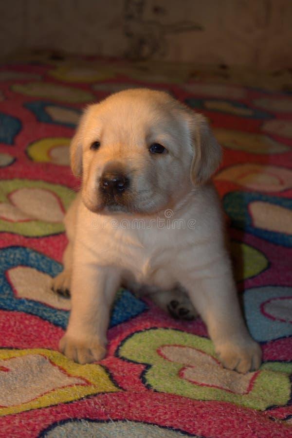Милый маленький щенок Лабрадора стоковая фотография rf