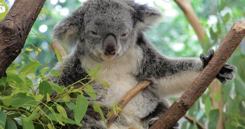 Милый медведь коалы есть зеленый свежий евкалипт выходит видеоматериал