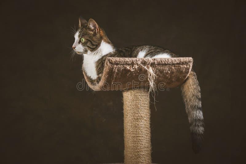 Милый молодой кот tabby при белый комод лежа на царапать столб против темной предпосылки ткани стоковое фото rf