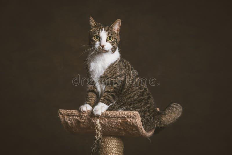 Милый молодой кот tabby при белый комод сидя на царапать столб против темной предпосылки ткани стоковая фотография
