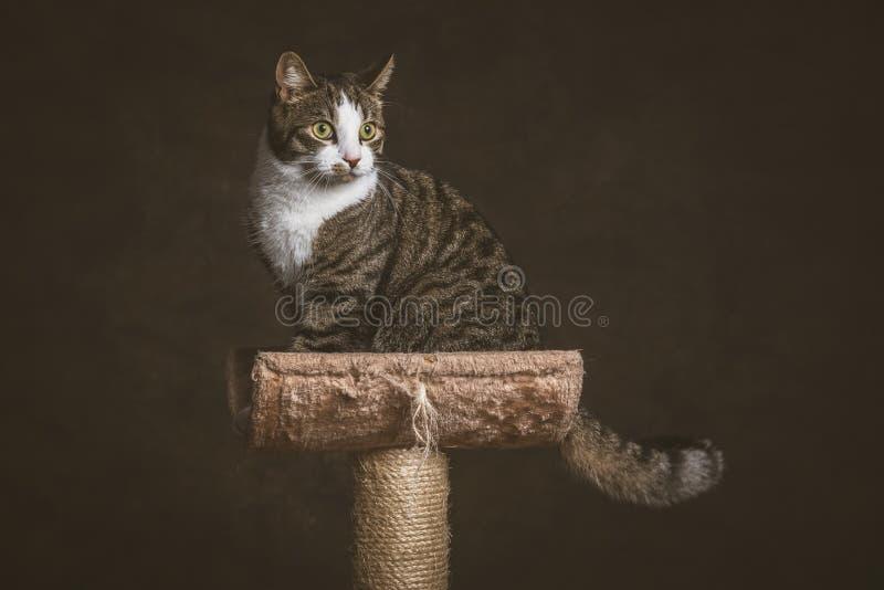 Милый молодой кот tabby при белый комод сидя на царапать столб против темной предпосылки ткани стоковая фотография rf