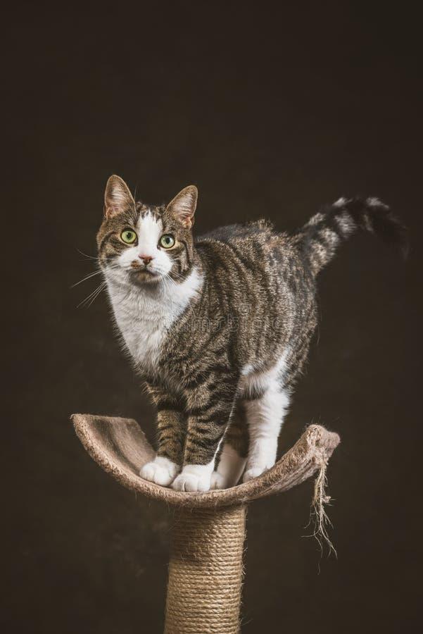 Милый молодой кот tabby при белый комод стоя на царапать столб против темной предпосылки ткани стоковое фото rf