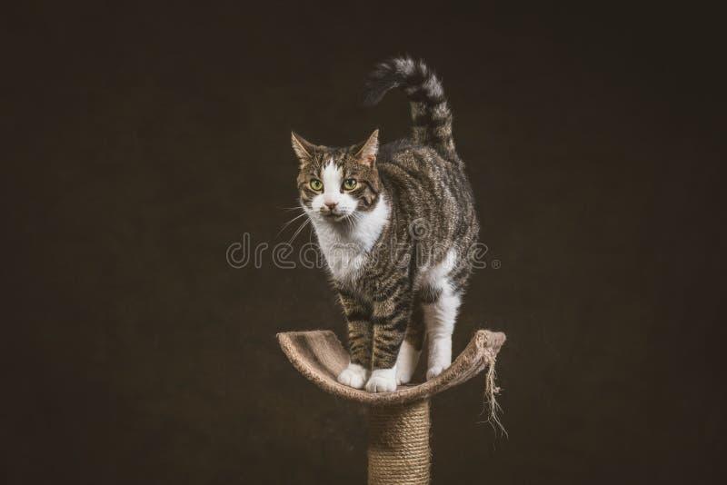 Милый молодой кот tabby при белый комод стоя на царапать столб против темной предпосылки ткани стоковые изображения