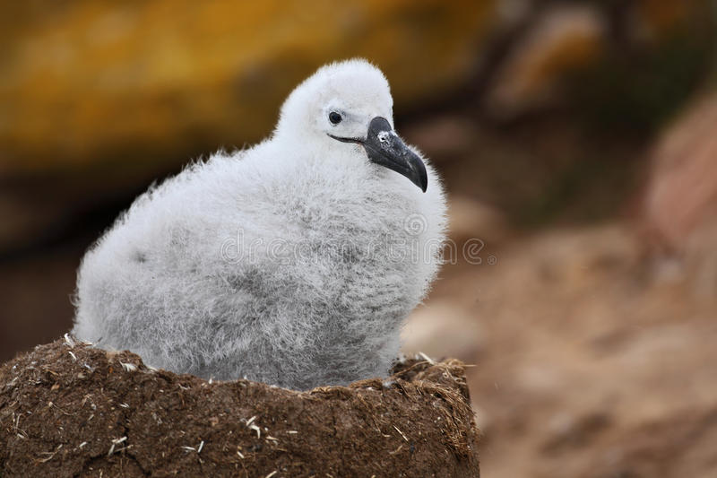 Милый младенец Черно-browed альбатроса, melanophris Thalassarche, сидя на гнезде глины на Фолклендских островах стоковые фото
