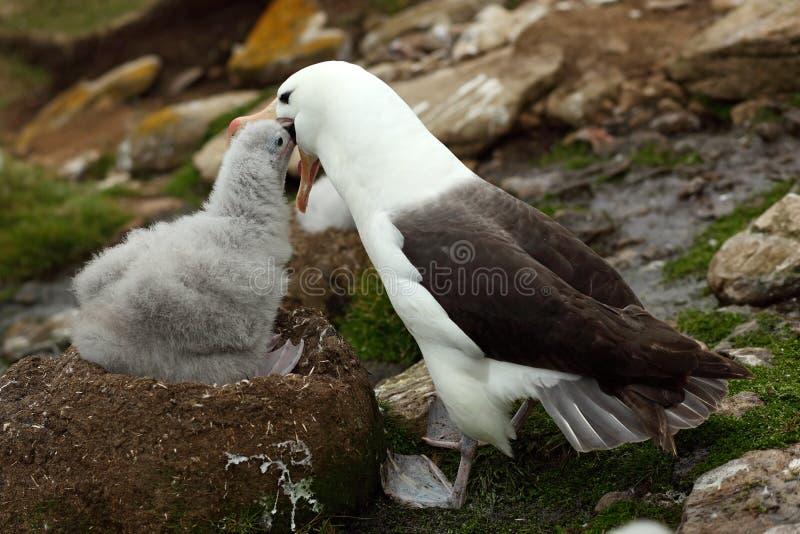 Милый младенец Черно-browed альбатроса, melanophris Thalassarche, сидя на гнезде глины на Фолклендских островах с родителем Молод стоковые изображения rf