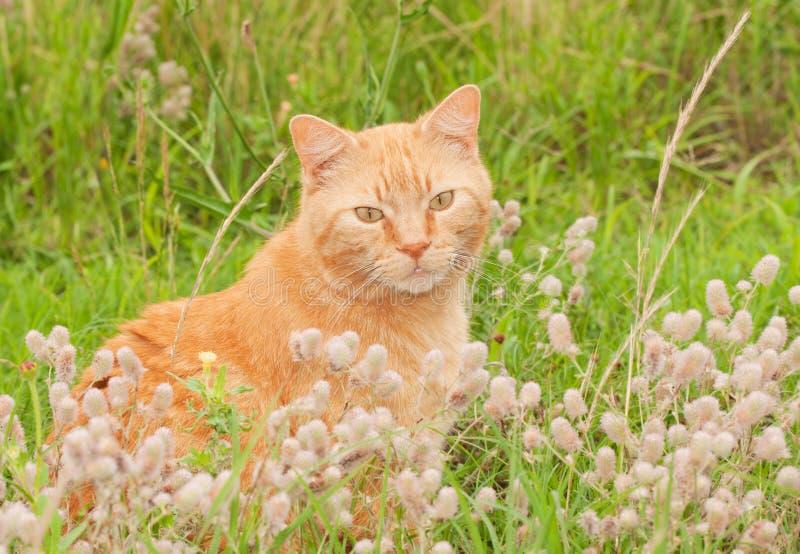 Милый оранжевый кот tabby сидя в высокорослой траве стоковое фото