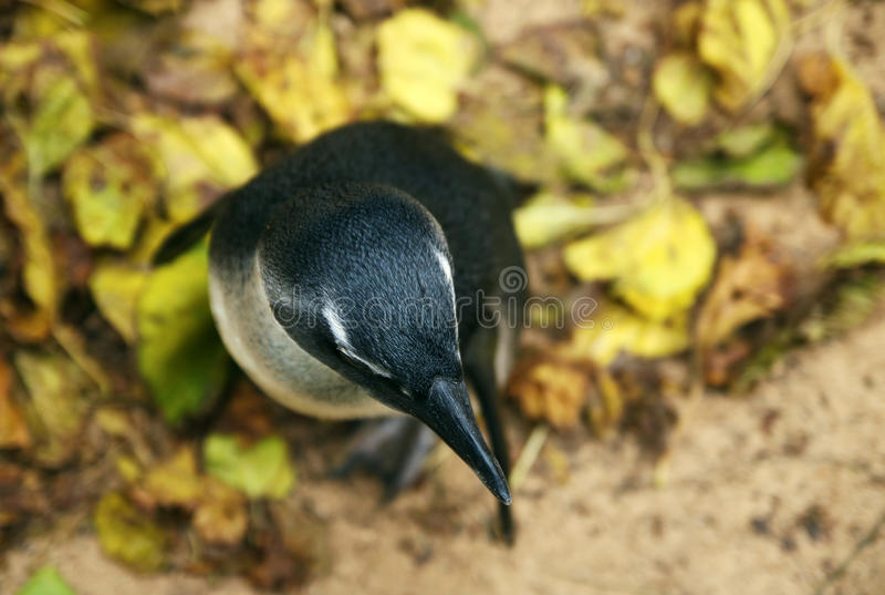 Милый пингвин стоя на желтых листьях стоковые фотографии rf