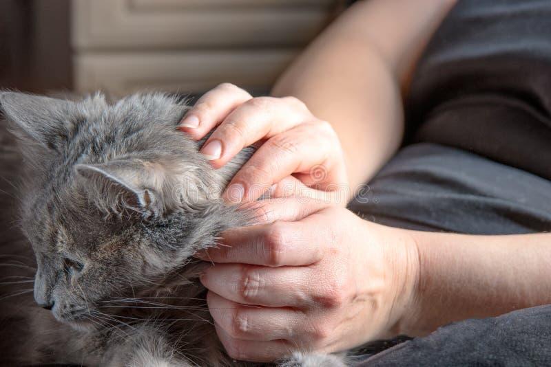 Милый серый кот отдыхая на подолах женщин стоковые изображения