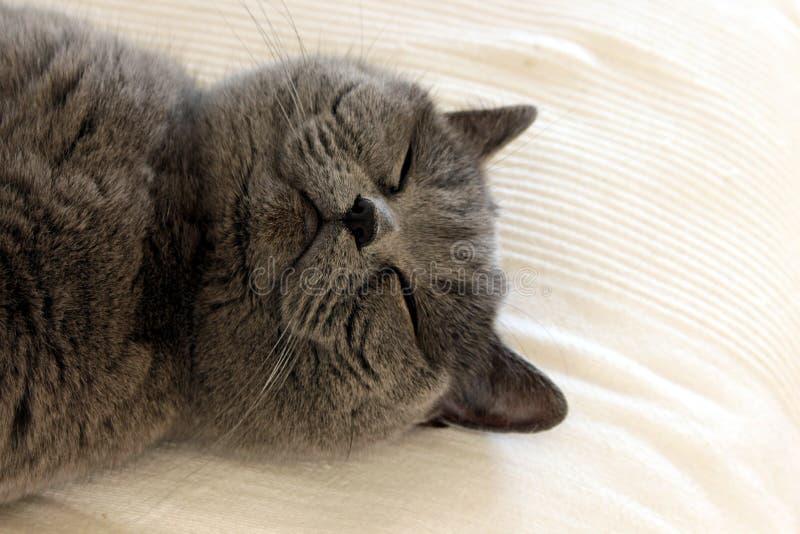 Милый серый спать кота стоковые изображения