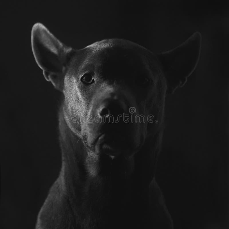 Милый серый тайский щенок ridgeback на черной предпосылке стоковое изображение