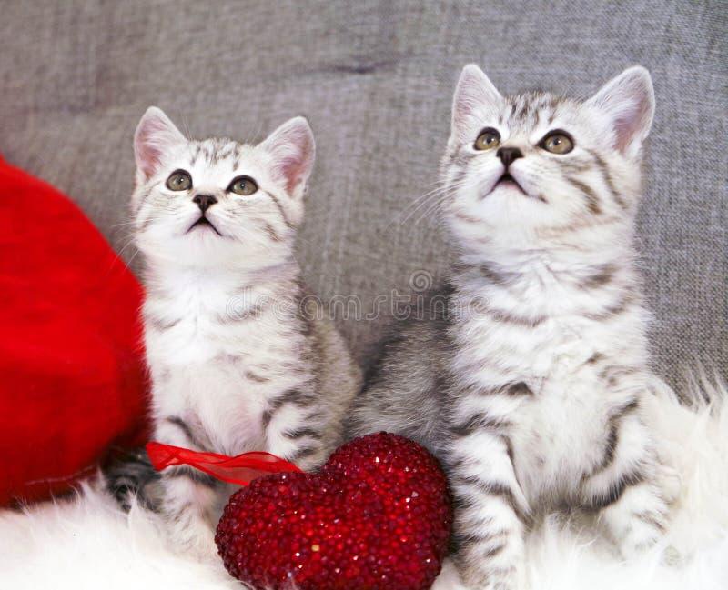 Милый сидеть котят 2 striped котят серой белизны шотландско стоковое изображение rf