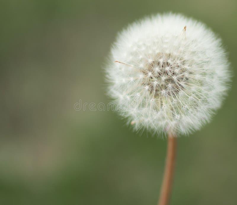 Милый цветок puffball одуванчика стоковые фотографии rf
