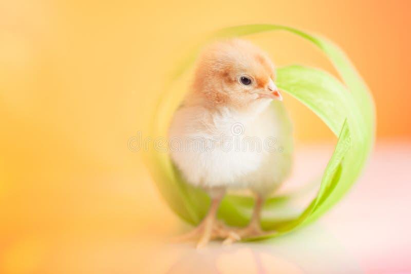 Милый цыпленок младенца стоковые изображения