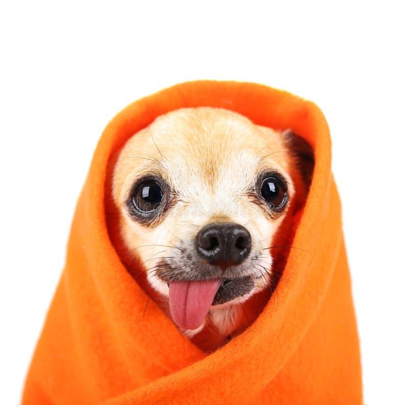 Милый чихуахуа с его языком вися вне и wrapp одеяла стоковое фото