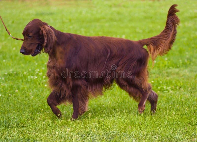 Милый щенок ирландского сеттера Ирландский красный сеттер сеттер красной собаки ирландский стоковое изображение