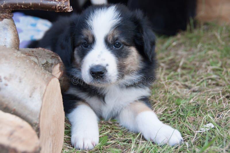 Милый щенок кладя в траву стоковые изображения rf