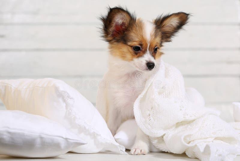 Милый щенок на белых подушках стоковая фотография rf