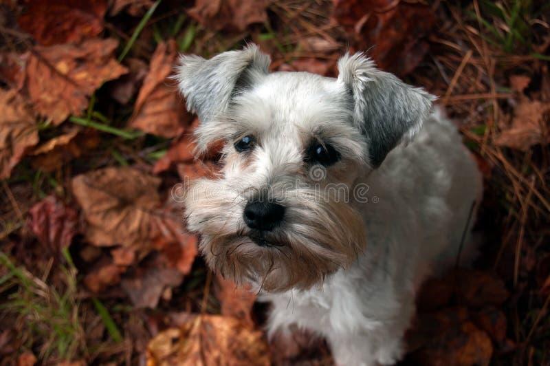 Милый щенок сидя на красных листьях падения Белое смешивание партии миниатюрного шнауцера стоковое изображение