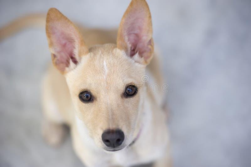 Милый щенок любознательно смотря стоковое изображение