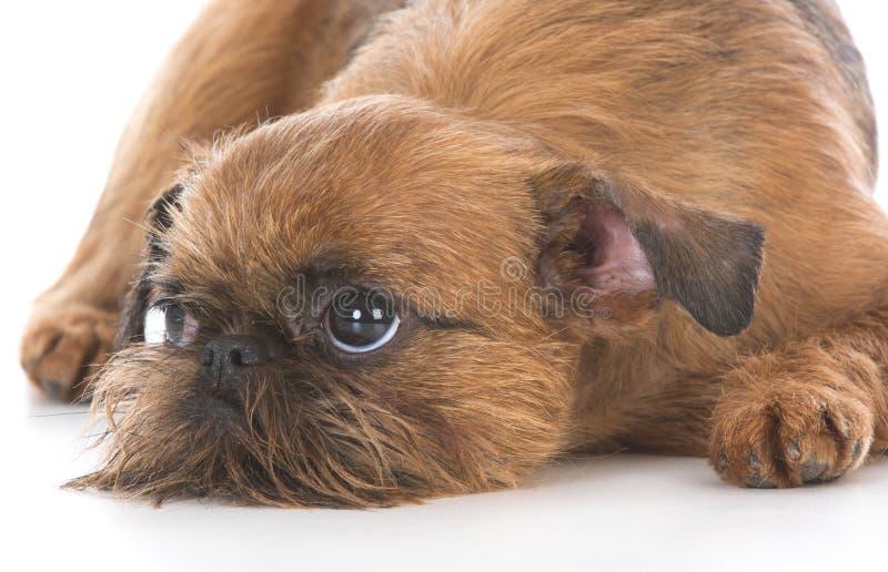 Милый щенок griffon Брюсселя стоковые изображения rf