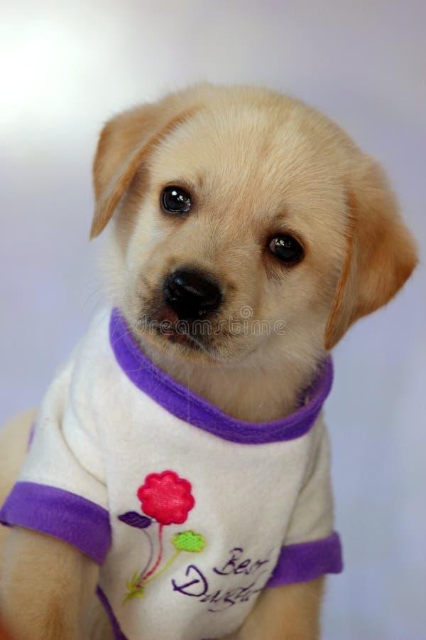 Милый щенок labrador стоковые изображения rf