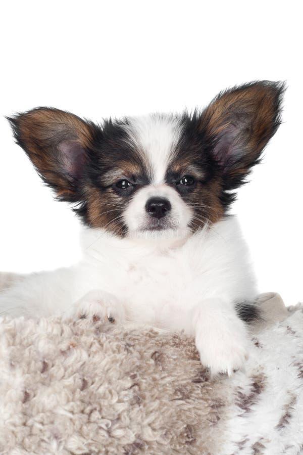 Прелестный портрет щенка papillon стоковая фотография
