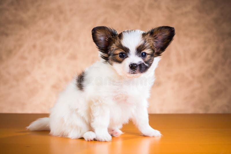 Милый щенок Papillon стоковое фото