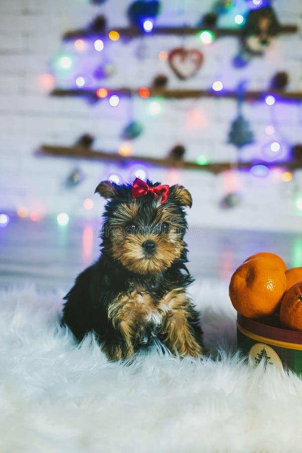 милый terrier yorkshire щенка стоковая фотография rf