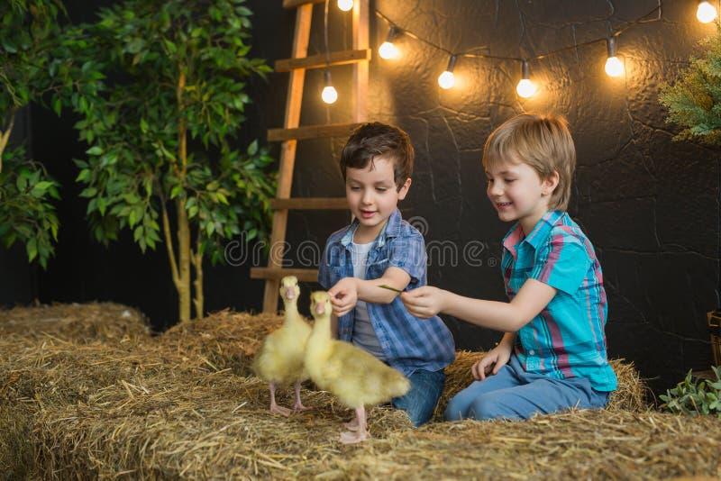 2 милых мальчика сидят на сене и игре с маленькими гусятами стоковая фотография
