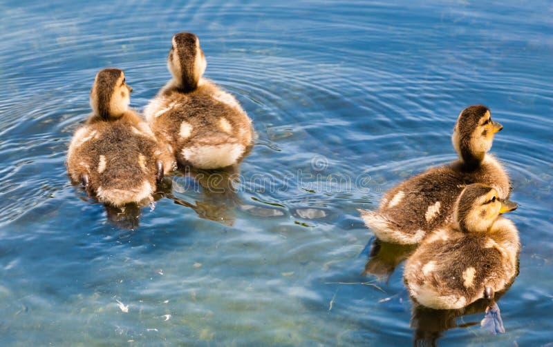 4 милых утят плавая прочь стоковое фото rf