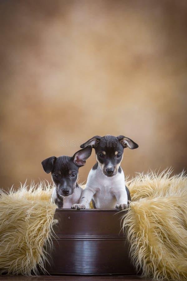 2 милых щенят терьера крысы стоковое изображение