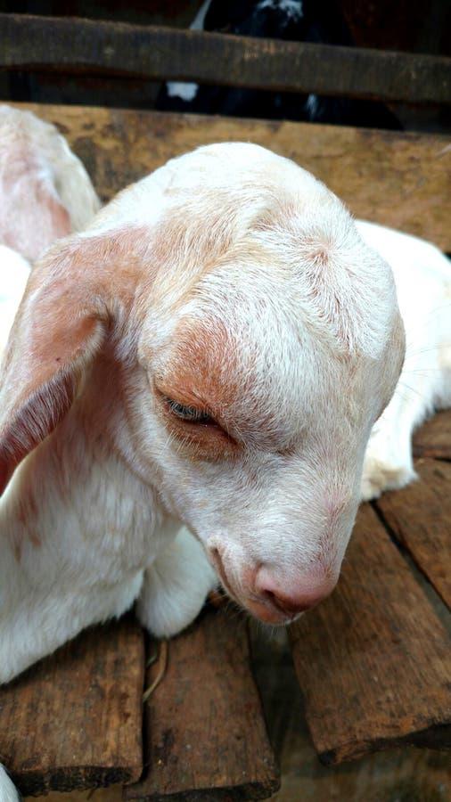 Младенец овец стоковая фотография rf