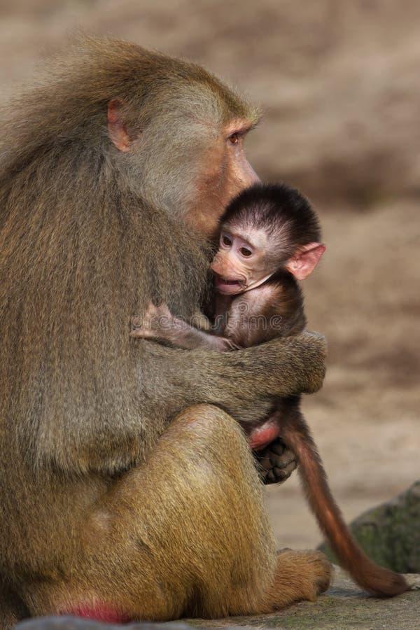 младенец павиана стоковое изображение rf