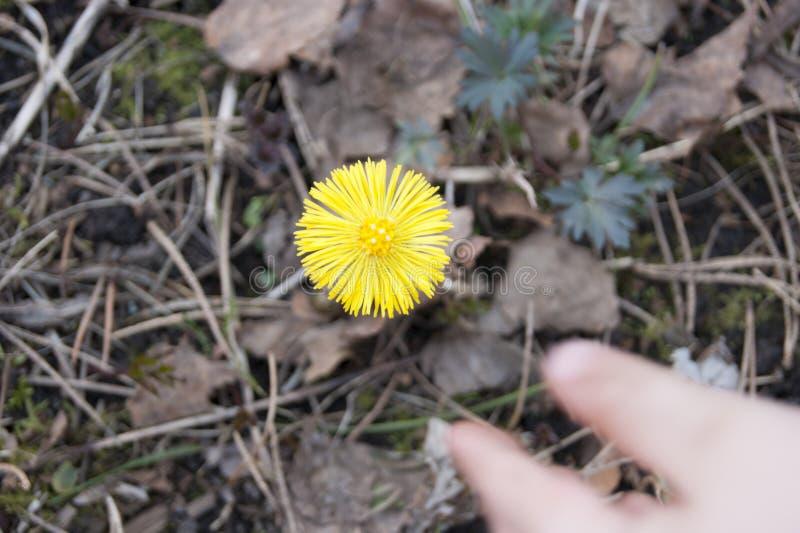 Младенец ручки к первому snowdrop - желтому как солнце, мать цветка и мачеха стоковые изображения rf