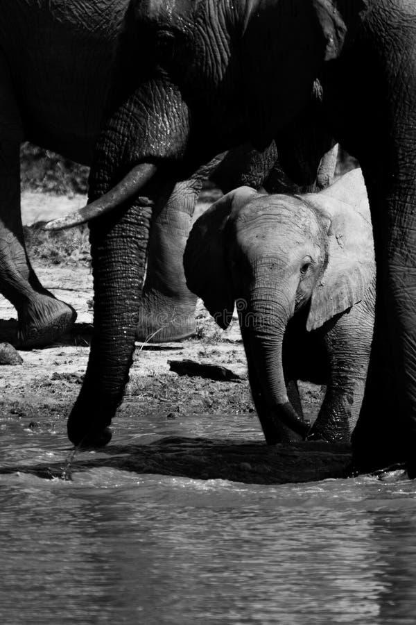 Младенец слона близко к матери стоковые фотографии rf