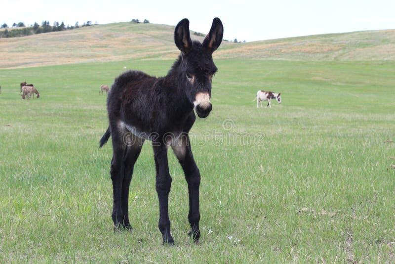 младенец умоляя burro стоковое изображение