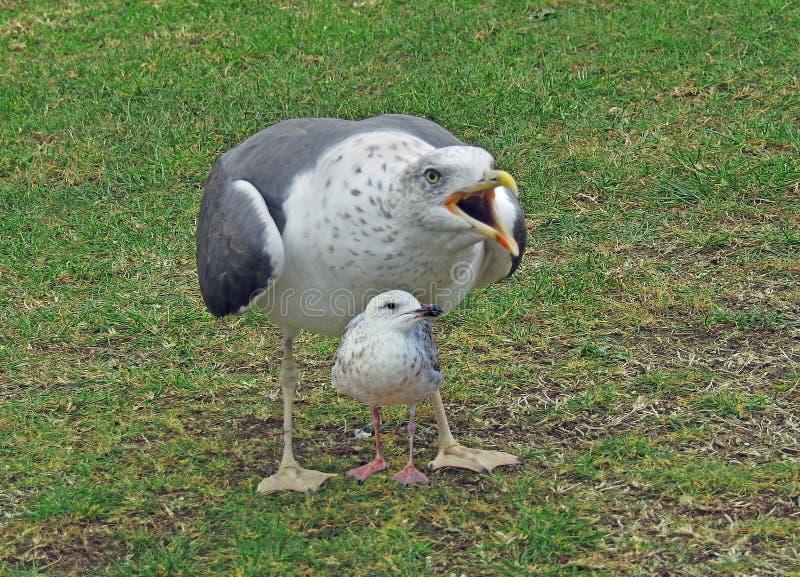Младенец чайки мумии защищая от хищников стоковая фотография