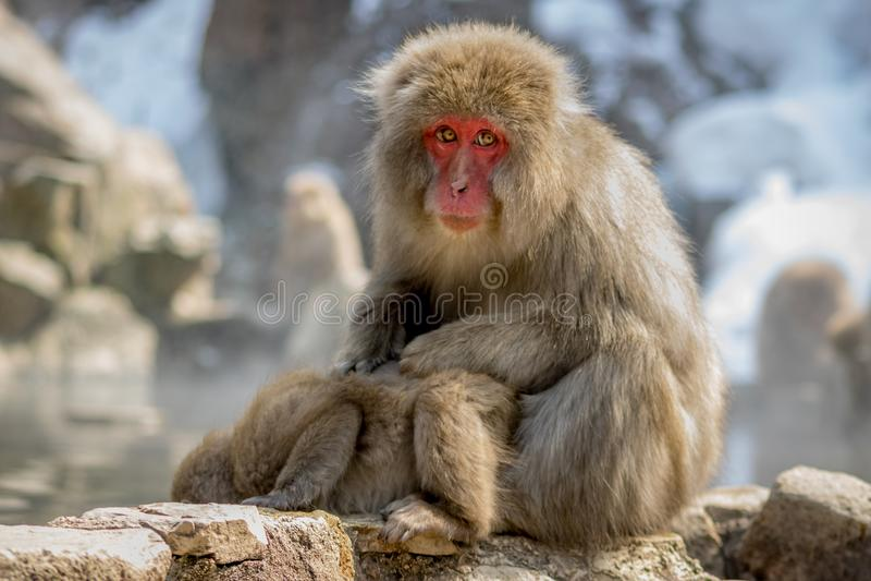 Младенец чистки обезьяны снега матери стоковое изображение rf