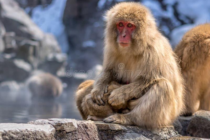 Младенец чистки обезьяны снега матери стоковые фотографии rf