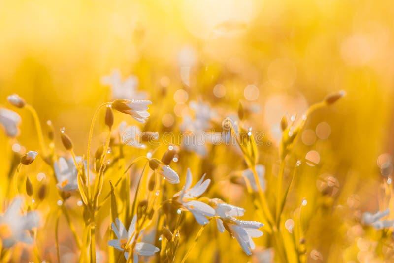 Много белый полевой цветок луга на естественной предпосылке захода солнца в поле Фото винтажной на открытом воздухе осени мягкое  стоковые изображения