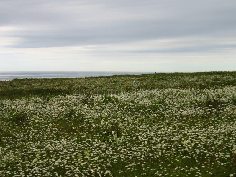 Много белых цветков стоцвета на пляже стоковые фото