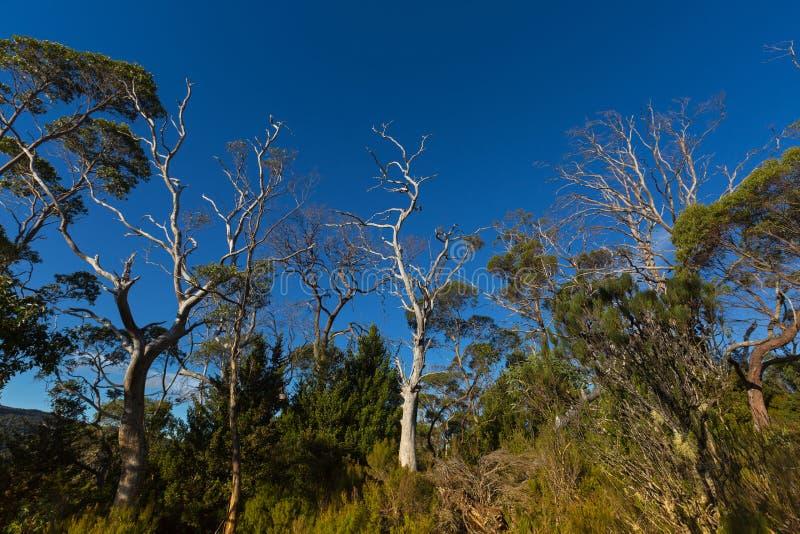 Много высокорослых эвкалиптов, сосна растя на лесе евкалипта вдоль Ove стоковые изображения