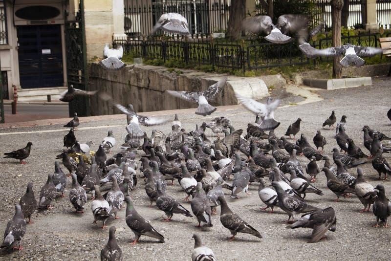 Много голубей на земле и некотором муха стоковое изображение