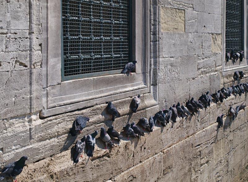 Много голубей на каменной стене стоковые фото