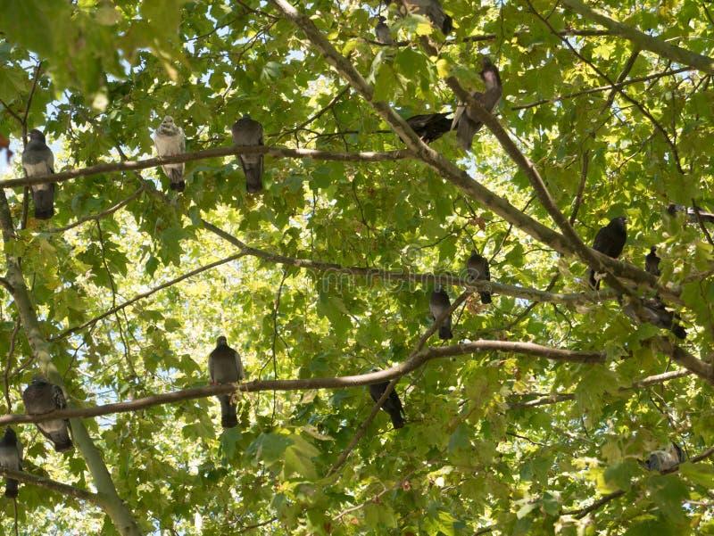 Много голубей садить на насест на ветви дерева летом стоковая фотография