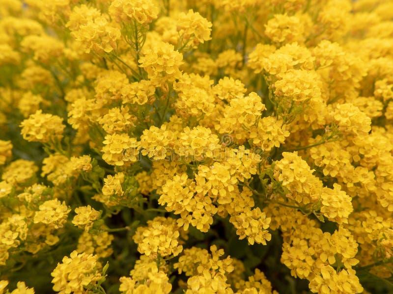 Много желтых цветков на поле стоковые фотографии rf