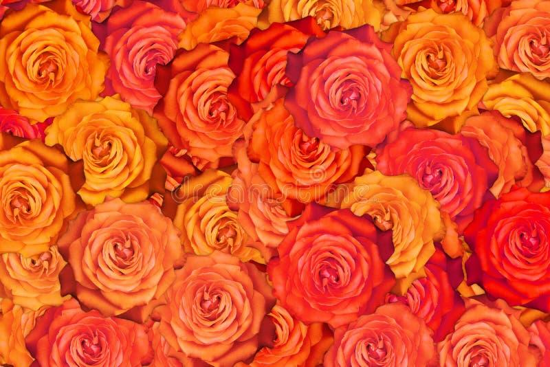 Много зацветая предпосылка конспекта цветка красной розы яркая стоковые изображения rf