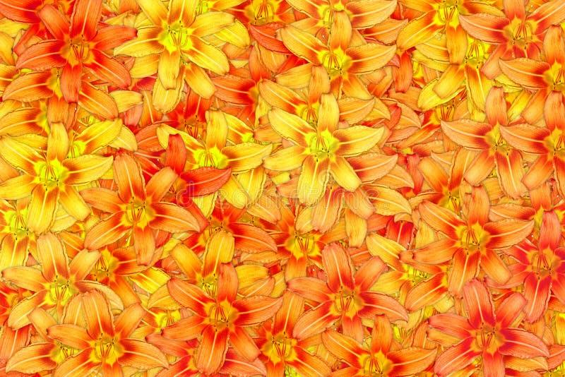 Много зацветая предпосылка оранжевого конспекта цветка лилии яркая стоковые фото