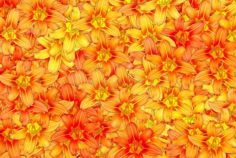 Много зацветая предпосылка оранжевого конспекта цветка лилии яркая стоковые фотографии rf
